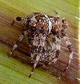 Garden Spider. Araneus diadematus - Flickr - gailhampshire.jpg
