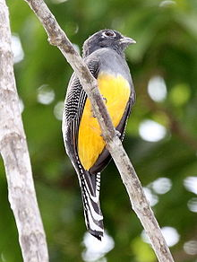 Gartered Trogon female.jpg