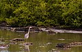 Garza azulada (Ardea herodias), isla Santa Cruz, islas Galápagos, Ecuador, 2015-07-26, DD 88.JPG