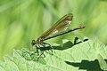 Gebänderte Prachtlibelle Calopteryx splendens 5804.jpg