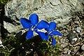 Gentiana schleicheri (flowers).jpg