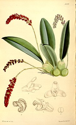 Genyorchis pumila (as Bulbophyllum pavimentatum) - Curtis' 88 (Ser. 3 no. 18) pl. 5329 (1862).jpg