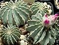 Geohintonia mexicana0.jpg