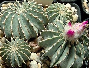 Geohintonia - Image: Geohintonia mexicana 0