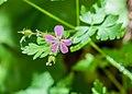 Geranium robertianum in Haute-Savoie (2).jpg