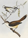 Gerygone flaviventris - 1845-1848 - Print - Iconographia Zoologica - Special Collections University of Amsterdam - UBA01 IZ16200216.jpg