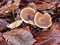 Gewone botercollybia (Collybia butyracea). (d.j.b.) (d.j.b.).jpg