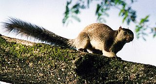 The Grizzled Squirrel Wildlife Sanctuary (GSWS), also known as Srivilliputhur Wildlife Sanctuary, was established in 1988 to protect the vulnerable grizzled giant squirrel (Ratufa macroura) in India
