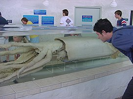 Giant squid in tank.jpg