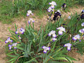 Giardino dell'iris, firenze, 2014, conjuration, 1° premio 1993, 01.JPG