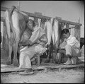 Gila River Relocation Center, Rivers, Arizona. A view of students milking at the dairy farm school. . . . - NARA - 537086.tif