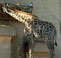 Girafa de Angola.JPG