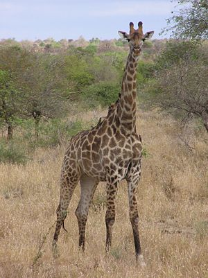 Southern giraffe - A South African giraffe (G. giraffa giraffa) at the Kruger National Park, South Africa.