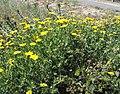 Glebionis segetum plant (07).jpg