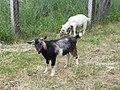 Goats in Turbiv.jpg