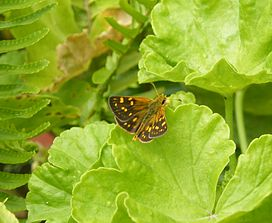 Gold Spotted Sylph Metisella metis female, Observatory Cape Town.JPG