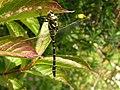 Golden-ringed Dragonfly - geograph.org.uk - 650216.jpg