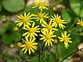 Golden Ragwort Senecio aureus Flower Bunch 3264px.JPG