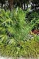 Gomphocarpus physocarpus - McKee Botanical Garden - Vero Beach, Florida - DSC02940.jpg