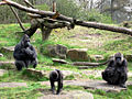 Gorillas (6488536093).jpg