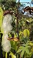 Gossypium arboreum flower.jpg