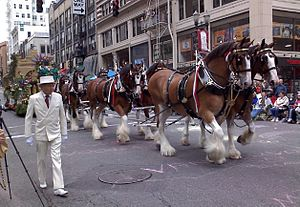 English: The Budweiser Clydesdale horses pull ...
