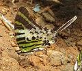 Graphium antiphates - Five-bar Swordtail 04.jpg