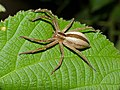 Grass Huntsman Spider (Pseudomicrommata longipes) (12884996904).jpg