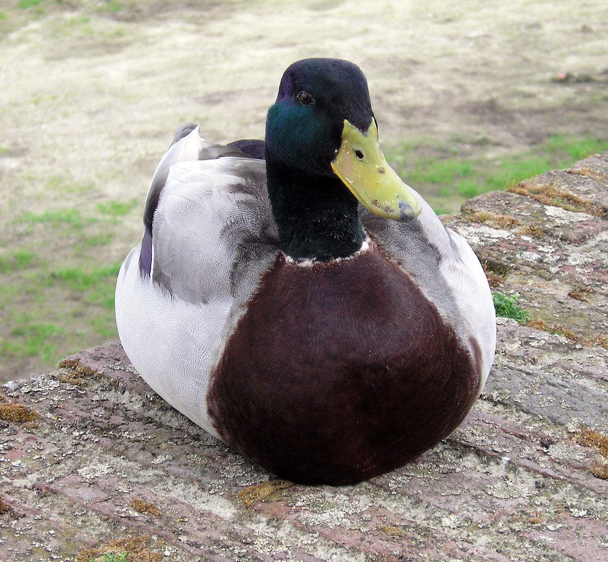Duck Deutsch