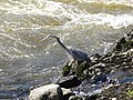 Great Blue Heron hunting at Pawtucket Falls, side view; Lowell, MA; 2012-05-19.JPG