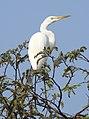 Great Egret Ardea alba Non-br by Dr. Rju Kasambe DSCN5026 (7).jpg