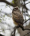 Great Horned Owl youngster - 1st day of emergence (26286919782).jpg