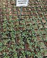 Great Swamp Greenhouse photos Rutgers Tomato.JPG