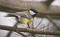 Great tit (25497317718).jpg