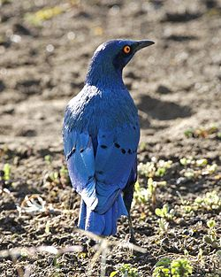 Greater Blue-eared Glossy-Starling (Lamprotornis chalybaeus) looking right from behind.jpg