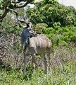 Greater Kudu (Tragelaphus strepsiceros) male ... (50093745897).jpg