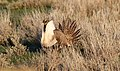 Greater Sage-Grouse (Centrocercus urophasianus) (8733121884).jpg
