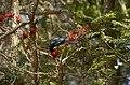 Greater racket tailed drongo Dicrurus paradiseus on erythrina DSC3628.jpg