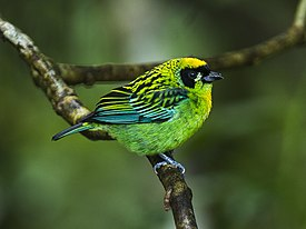 Green-and-gold Tanager - South Ecuador S4E0470 (22856239437).jpg