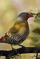 Green-winged Pytilia, Pytilia melba, at Pilanesberg National Park, Northwest Province, South Africa (27858677204).jpg