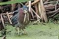 Green Heron (17438752301).jpg