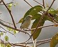 Greenish Warbler (Phylloscopus trochiloides) in Kinnarsani WS, AP W IMG 5786.jpg