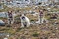 Greenland Dog 03(js), Ittoqqortoormiit (Greenland).jpg