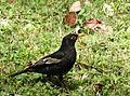 Grey-winged Blackbird DSCN0094 1.jpg