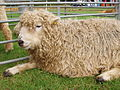 Grey Faced Dartmoor sheep.jpg