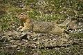 Ground Squirrel in Flight! (a26fe38f-58e1-4adc-bae6-a75134232063).jpg