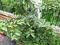 Guava - പേര, പേരയ്ക്ക 03.JPG