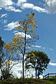 Guayacán amarillo (Tabebui a chrysantha) (14797773185).jpg