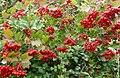 Guelder Rose berries, Vibernum opulus - geograph.org.uk - 941315.jpg