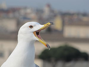 Beak - A gull's upper mandible can flex upwards because it is supported by small bones which can move slightly backwards and forwards.